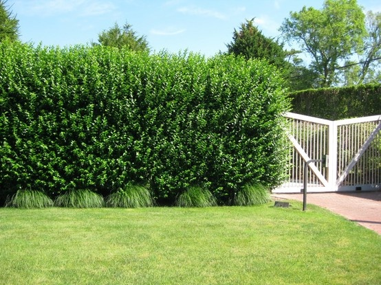 Privet Hedge Block Island Times